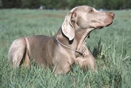 Weimaraner laying in a field