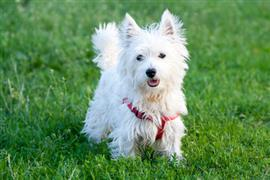 Westie standing on the lawn