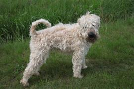 Wheaten Terrier standing on the grass