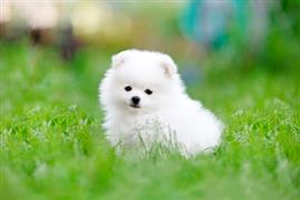 Tiny white puppy sits on grass
