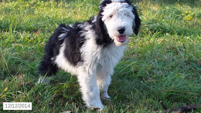 Old English Sheepdog Names At Dognamed