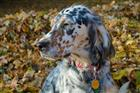 Photo of parker for English Setter Names