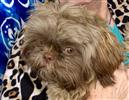 Photo of Cookie for Shih Tzu Names